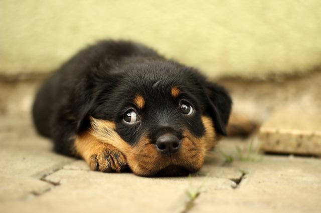 rottweiler štěně
