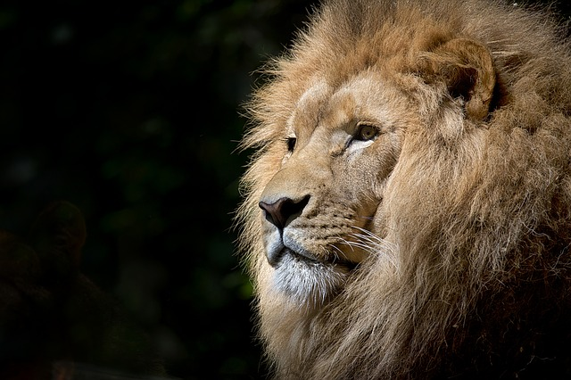 hlava lva
